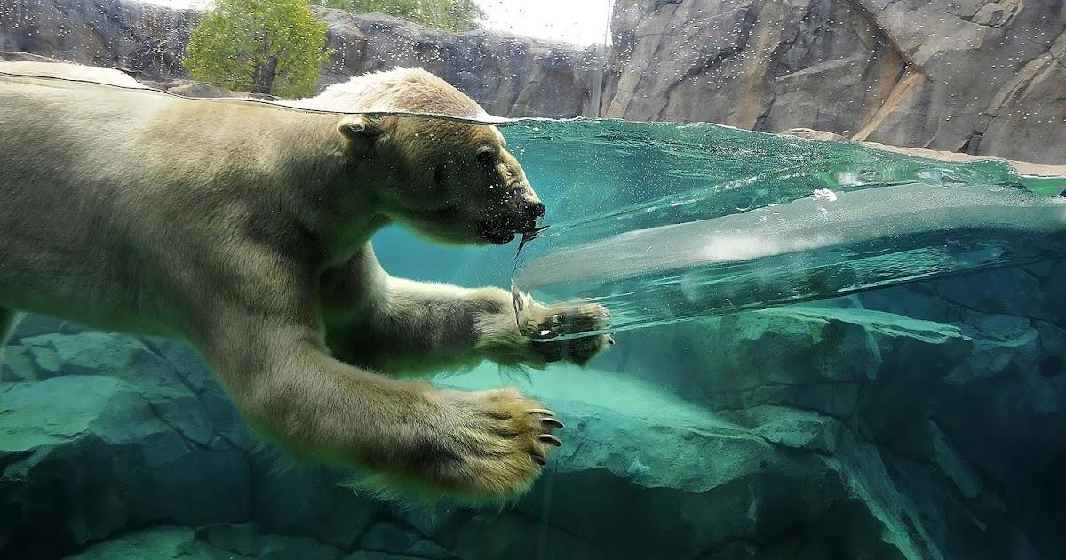 Foto van een ijsbeer in het water bureaublad achtergronden - Groen behang van het water ...