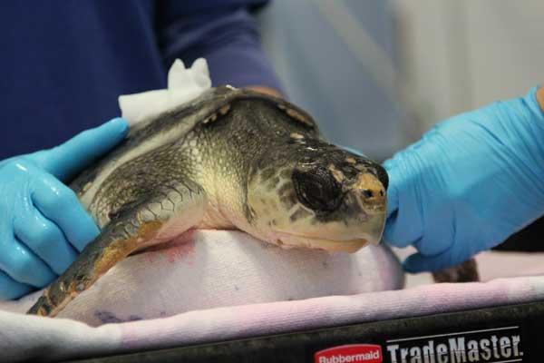 Как лечить пневмонию в домашних условиях у черепах