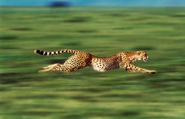 Leopards Running Speed