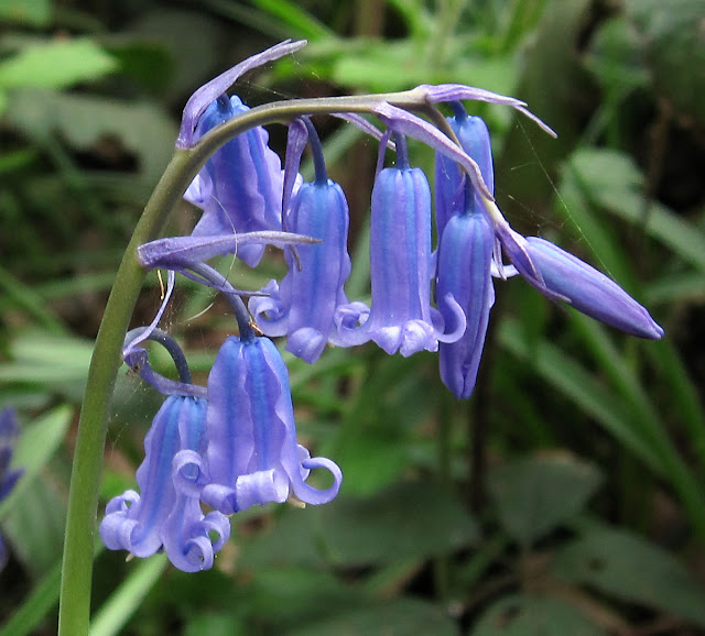 Common (English) bluebell, Hyacinthoides non-scripta (used to be named Endymion non-scriptum); the native species. Spring Park, 16 April 2011.
