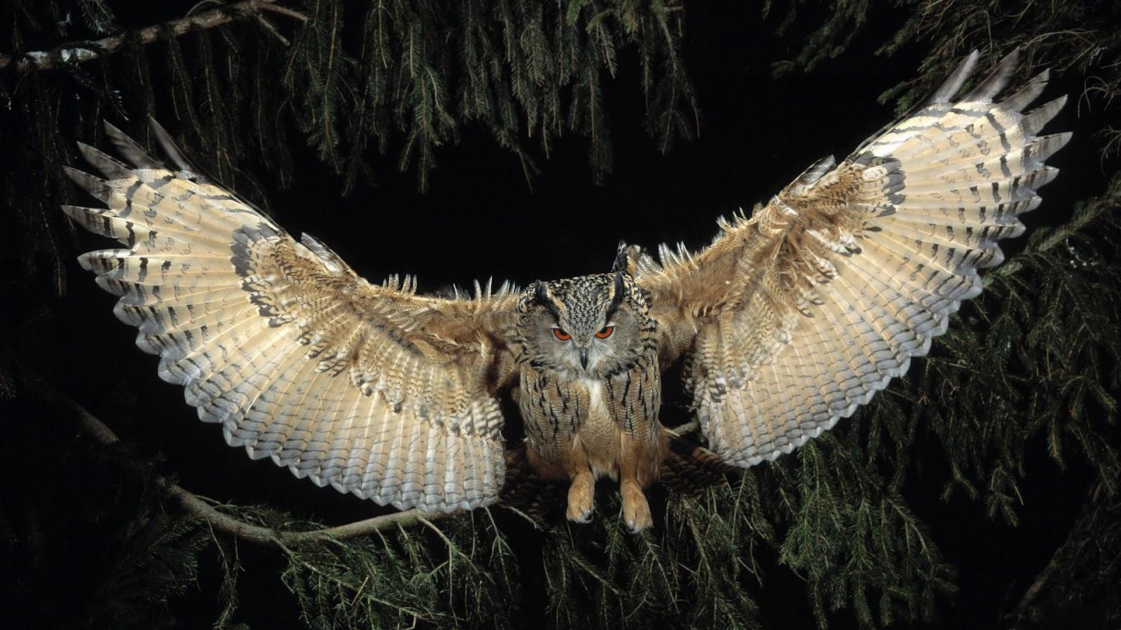 ... Owl Full HD... Owl Desktop Wallpaper Hd