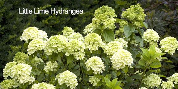 Serenity in the Garden: u0026#39;Limelightu0026#39; and u0026#39;Little Limeu0026#39; Hydrangea - Great Shrubs for Any Garden