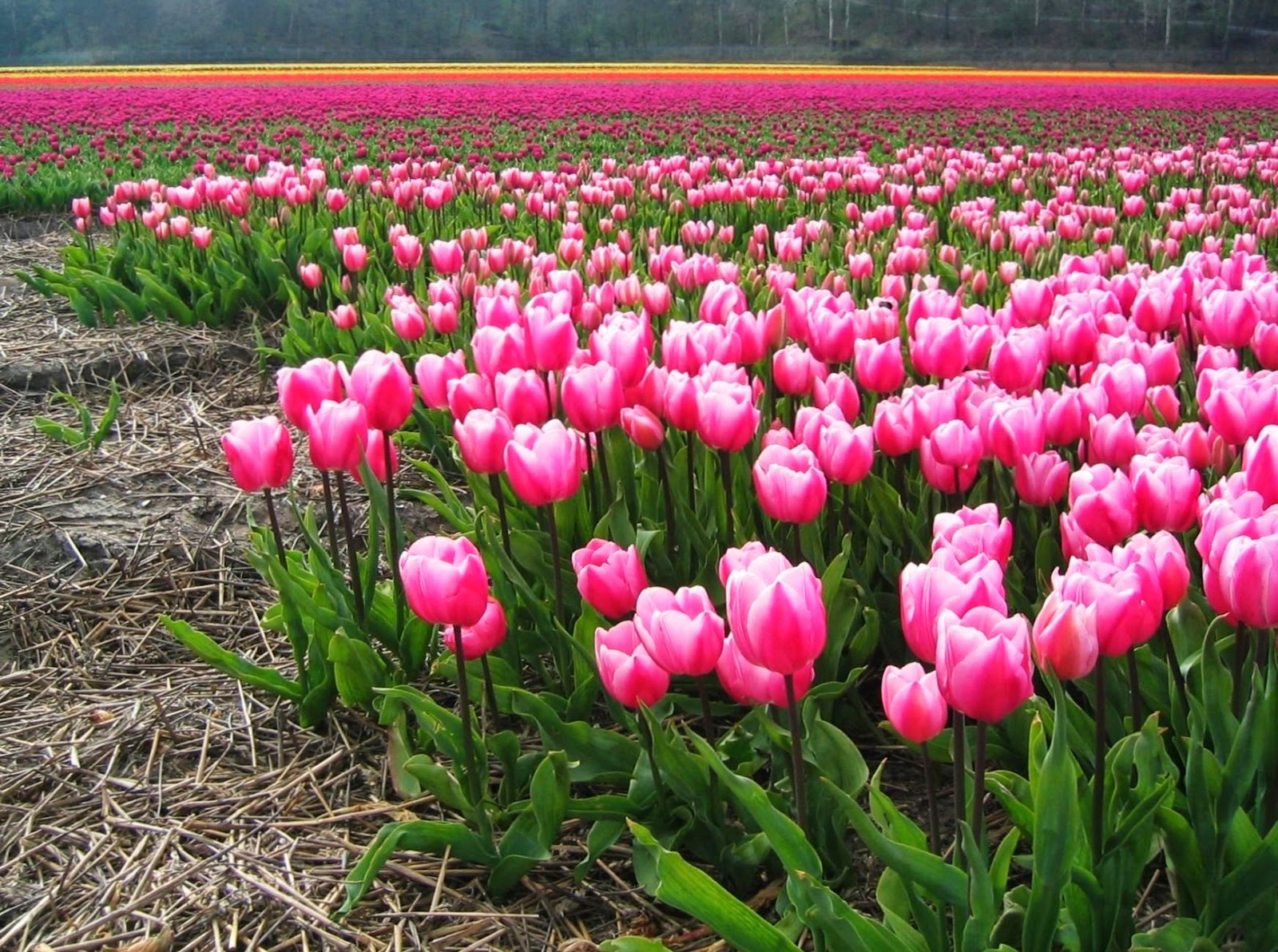 Dutch Spring