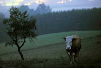 História da vaca que escapou da morte na Alemanha vai virar filme