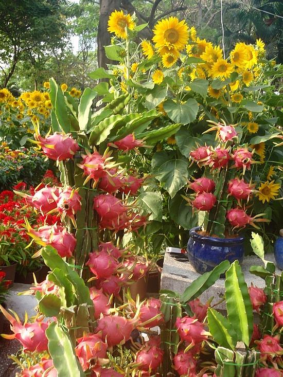Guru's Home: DRAGON FRUIT Pitaya Fruit, Pitahaya Fruit
