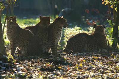 panthère animal animalier nature parc des félins Nesles Seine-et-Marne