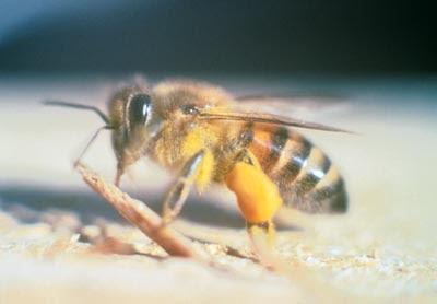 10 serangga paling berbahaya di dunia Africanizedbee