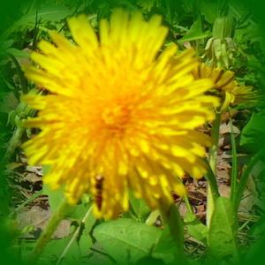 Yellow Mleczyk