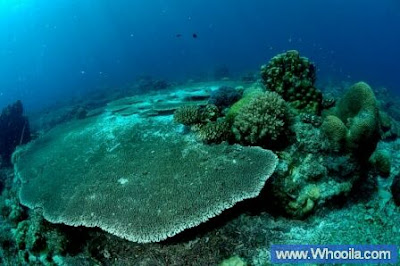 003+DSC 1246 2+ +Whooila.com Foto/Gambar Pemandangan Indah dibawah Laut Pulau Anambas