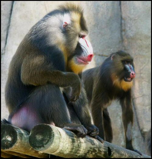 monyet paling besar dunia