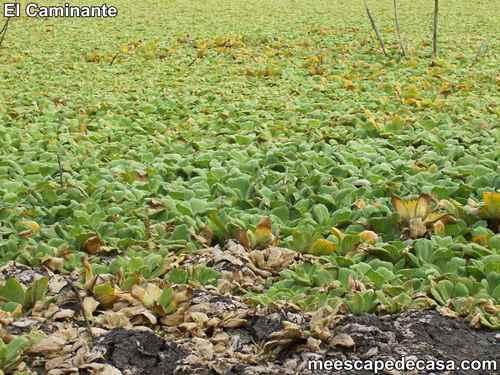Plantas acuáticas en la laguna Ricuricocha (San Martín, Perú) - 2