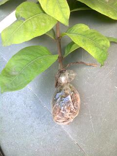 ixora plant airlayering