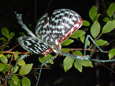 foto: bicho palo achrioptera spinosissima