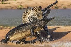 Un jaguar attaque un crocodile