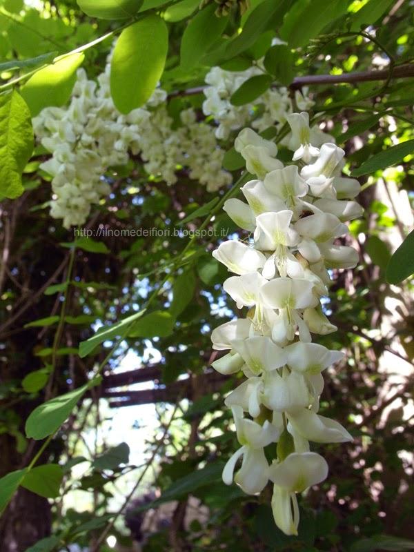 In nome dei fiori grappoli di fiori bianchi di robinia for Pianta ornamentale con fiori a grappolo profumatissimi