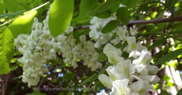 Il nome dei fiori grappoli di fiori bianchi di robinia for Nomi di fiori bianchi