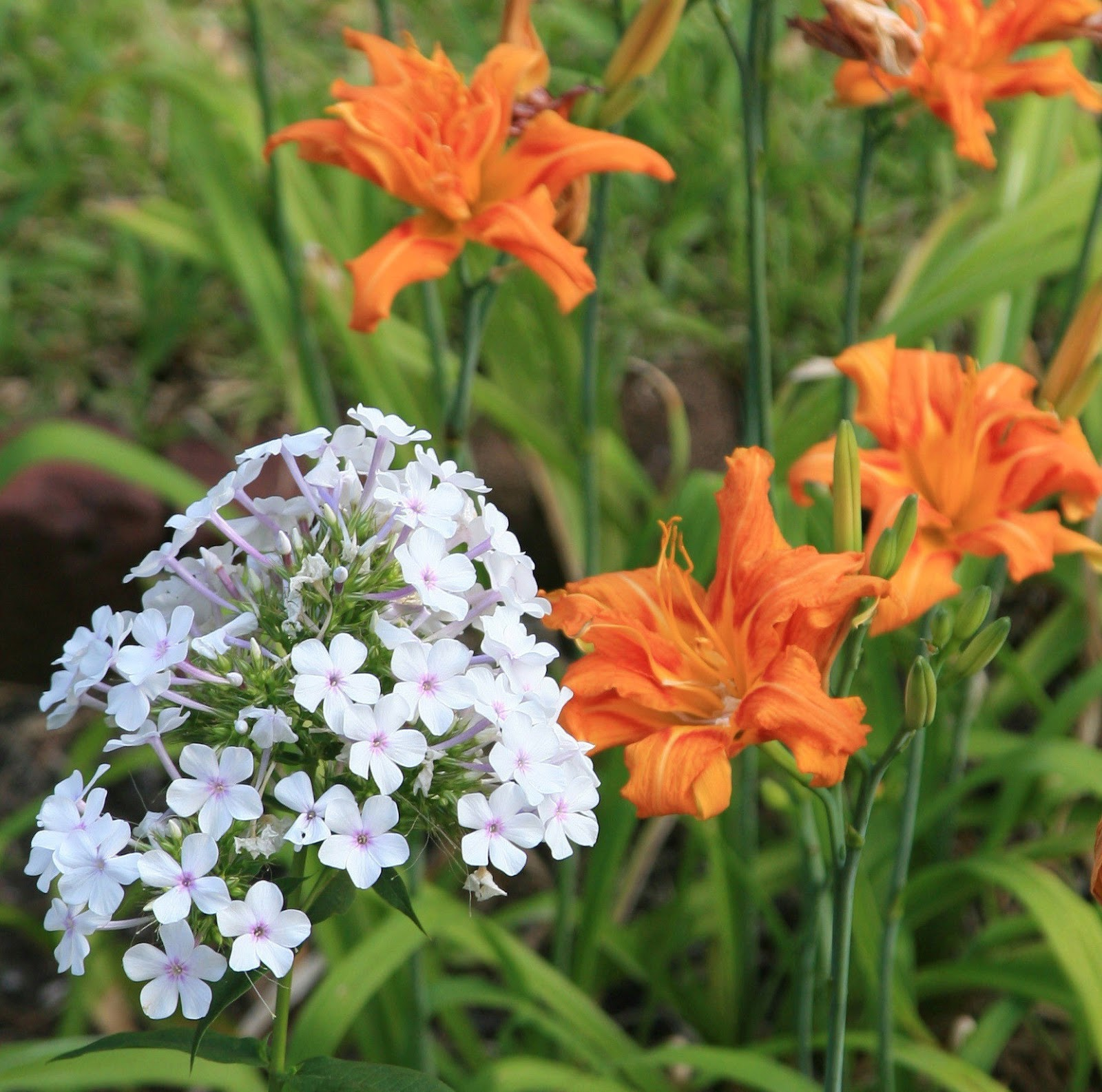 slides 38 41 garden phlox p paniculata usda hardiness zones 2 8