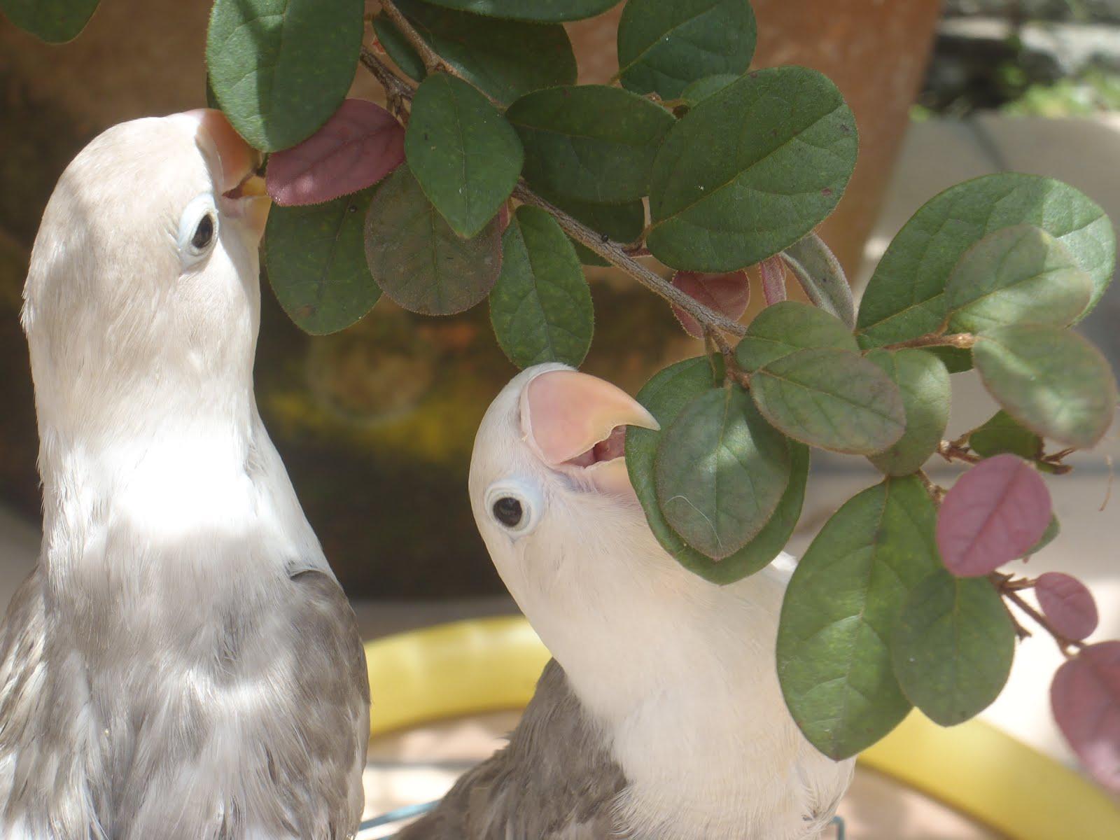 my birds region double dark pastel mauve personatus fischery