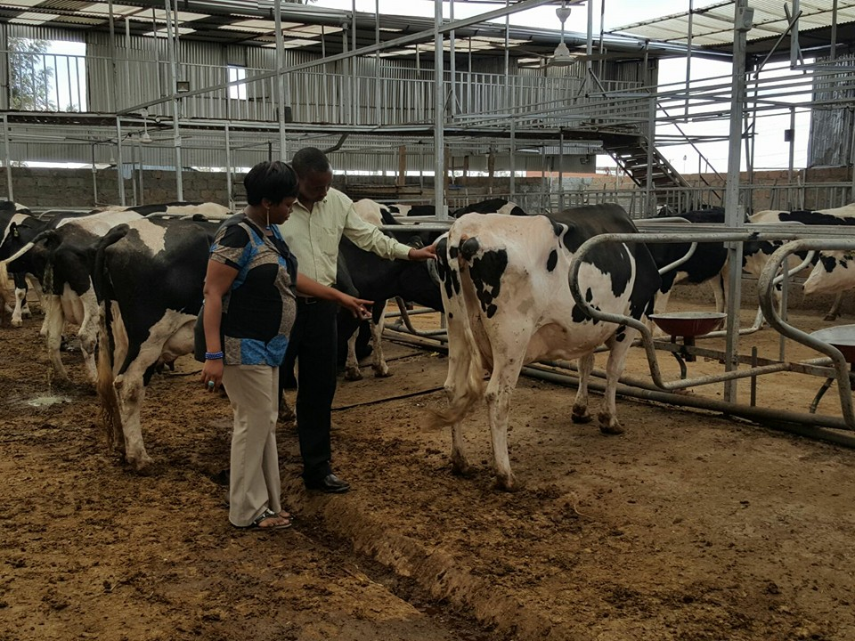 Susan And Muturi Working Together At Their Ultra Modern Dairy Farm In Ruiru