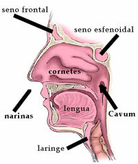 Partes de la nariz