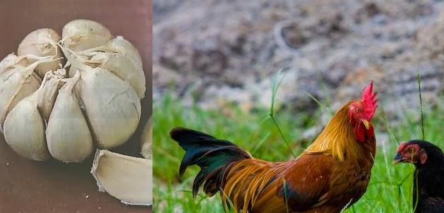 Manfaat Bawang Putih Untuk Obat Alami Ayam Kampung