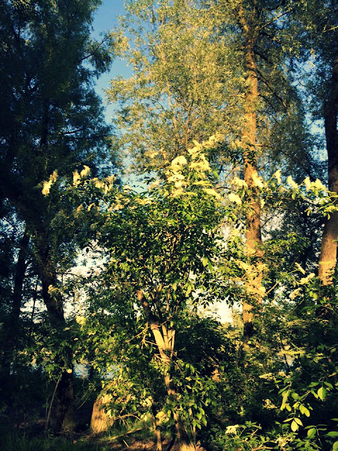 Hollerblütensirup - Ideenpiratin