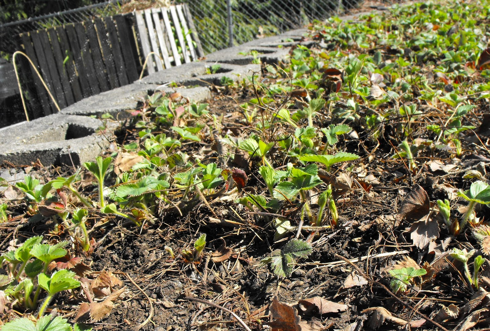 Spring strawberry bed clean up - Plant strawberries spring ...