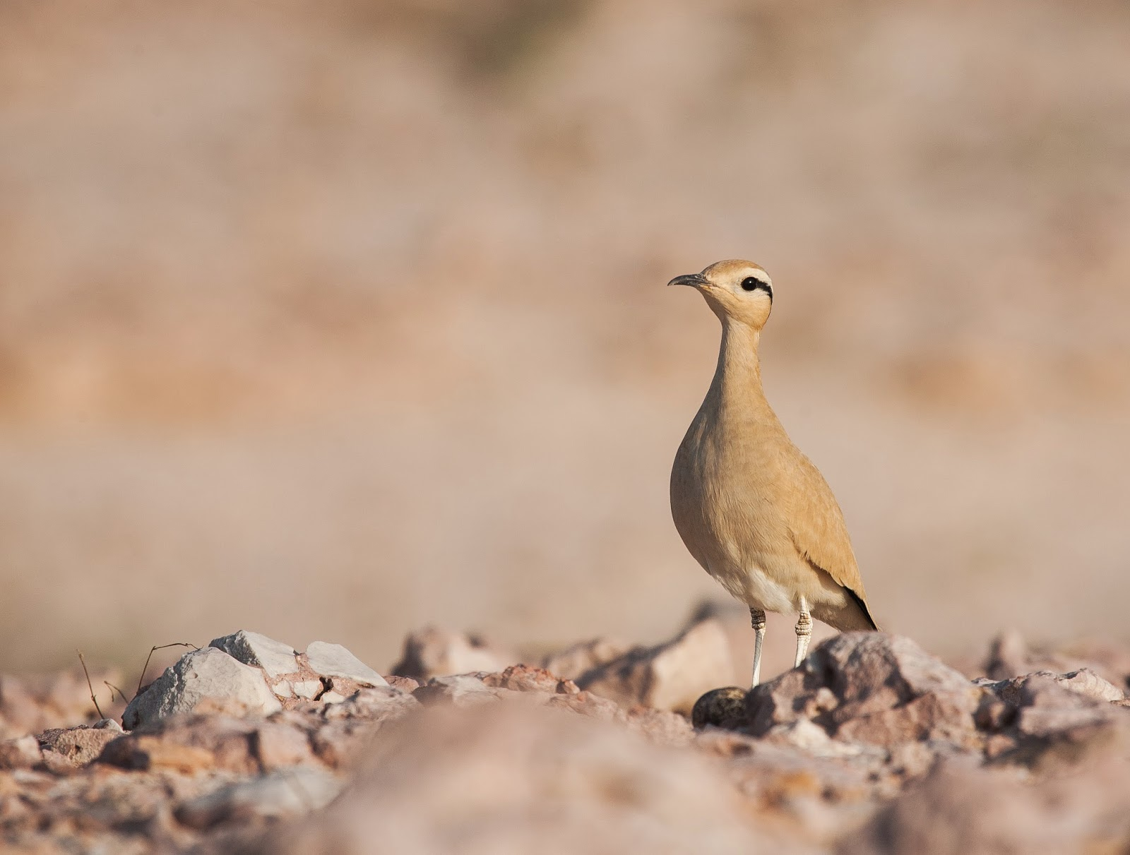 Cream-coloured Courser - Socotra - Simon Colenutt
