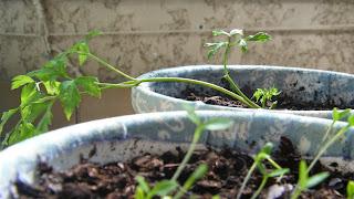 Salsa semeada e plantada em vasos