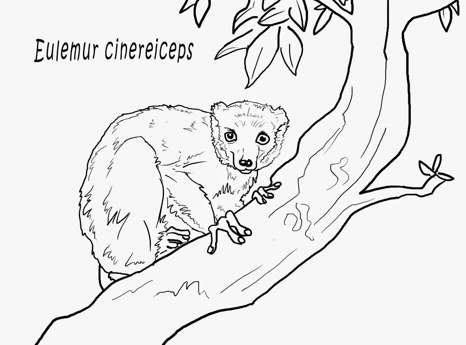 """img src=""""Eulemur cenereiceps.jpg"""" alt=""""Lémures para colorear""""/>"""