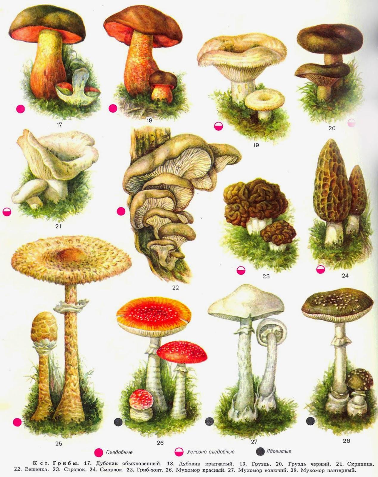 Все грибы с фото и описаниями видов и удобной сортировкой по русским и латинским названиям. Растущие на территории россии и стран снг.