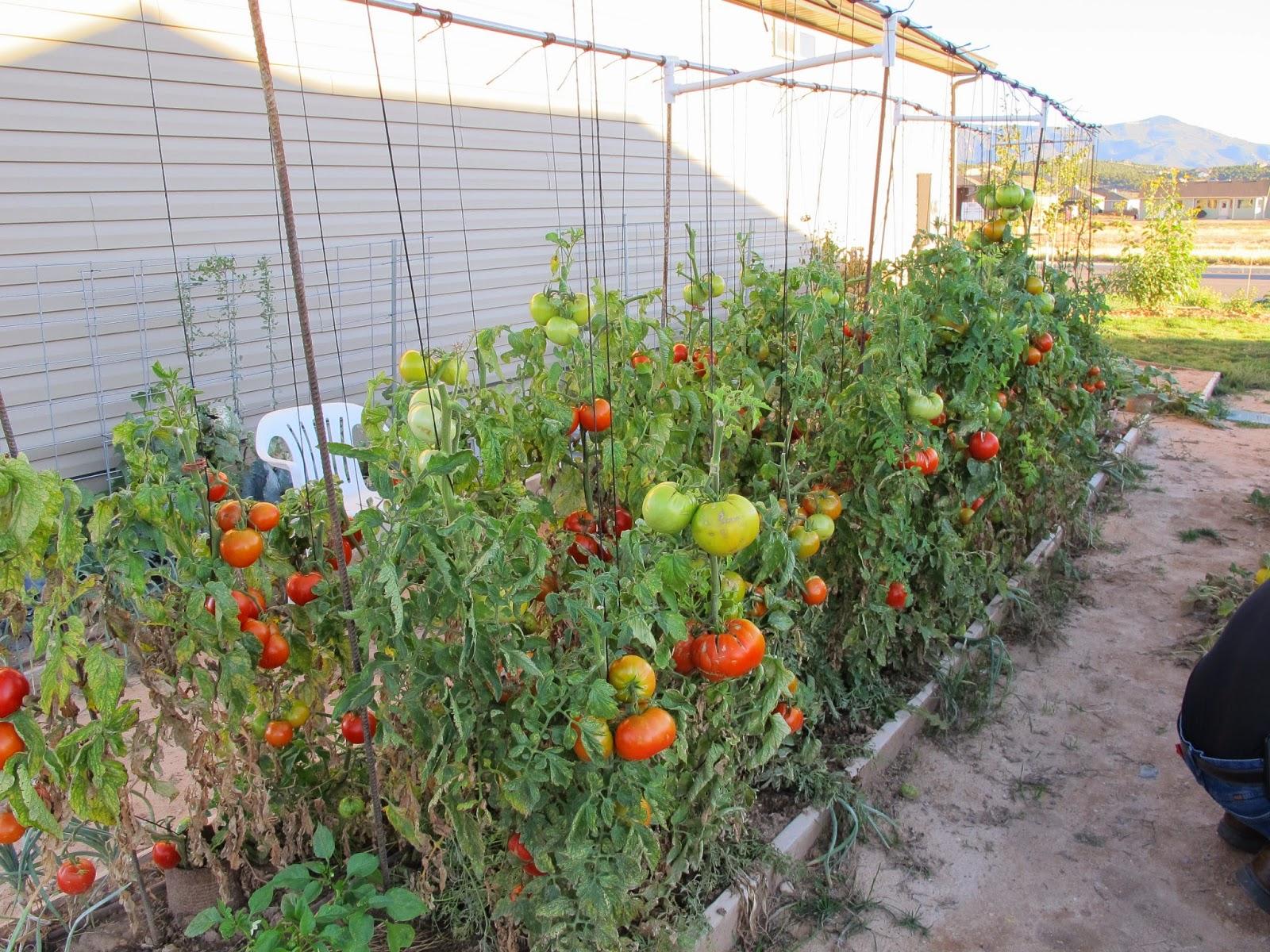 Tasty Garden Tomatoes