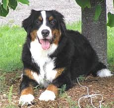 Purr-Views: Breed of The Week: Bernese Mountain Dog