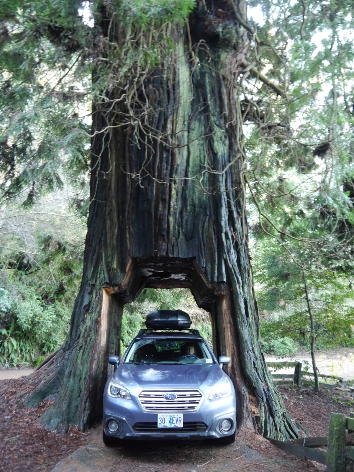 sara 39 s year abroad redwoods. Black Bedroom Furniture Sets. Home Design Ideas