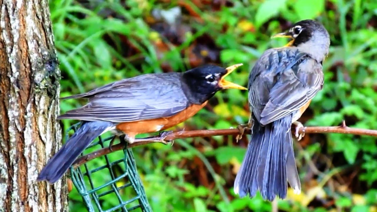 American Robin weaning fledgling