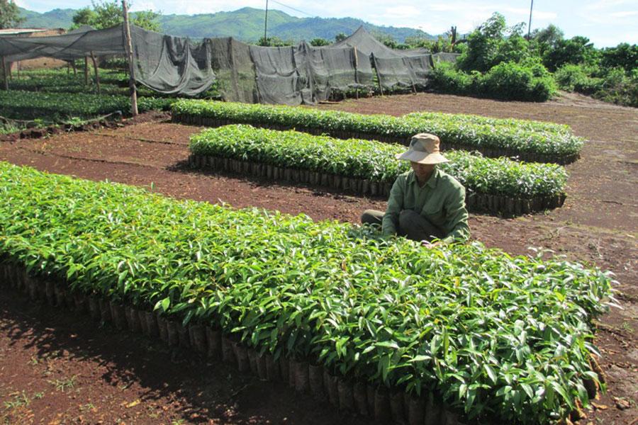 Gia Lai: Cần chú ý chất lượng cây giống
