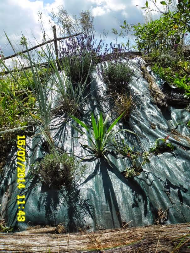 mon arbre le de vivre le douaire tout savoir sur le yucca filamenteux yucca filamentosa. Black Bedroom Furniture Sets. Home Design Ideas