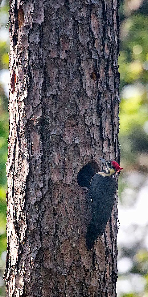 Pileated Woodpecker at Nest