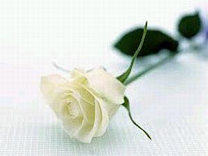 Flores, Fotos de Rosas Blancas, parte 2