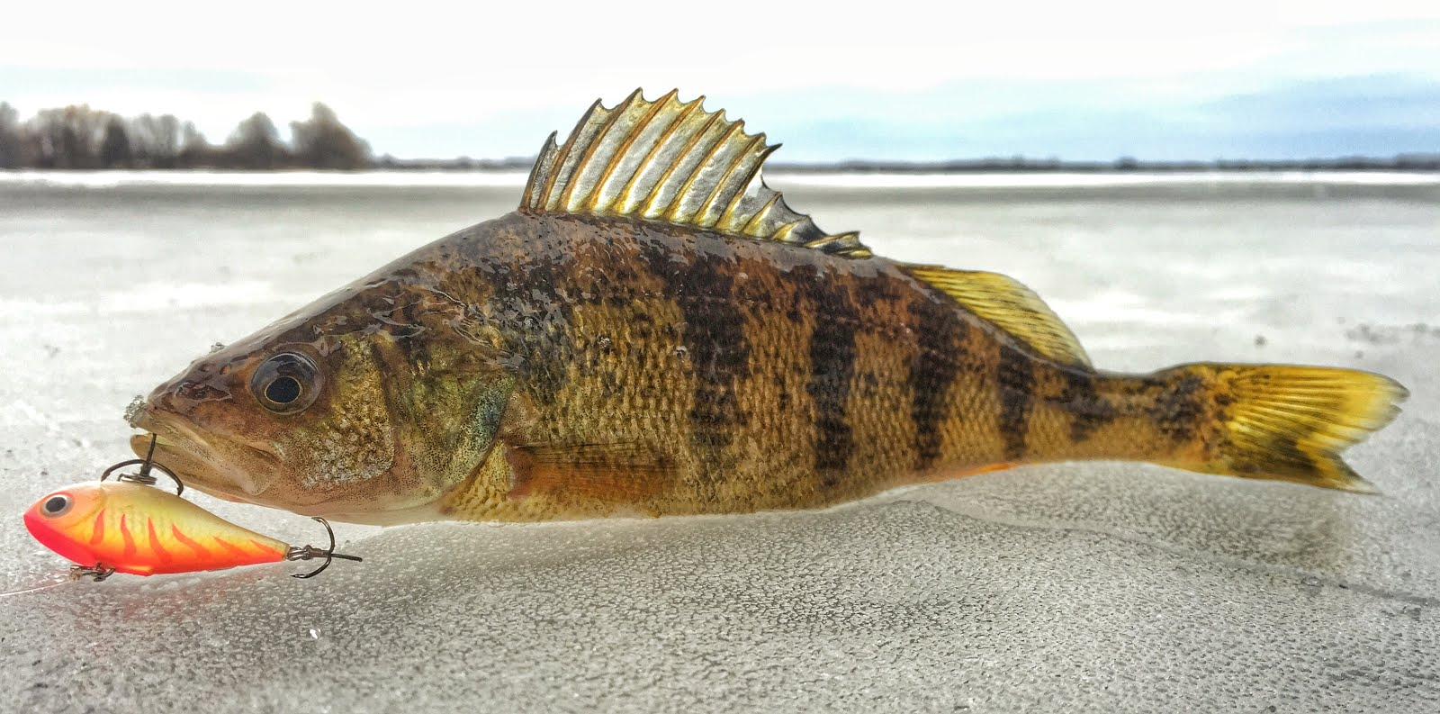 Bay of Quinte Hardwater Perch