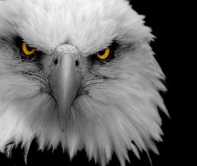gambar elang terkuat
