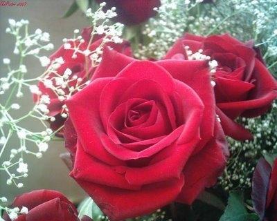 Rosas Rojas de amor | Cientos de Imagenes