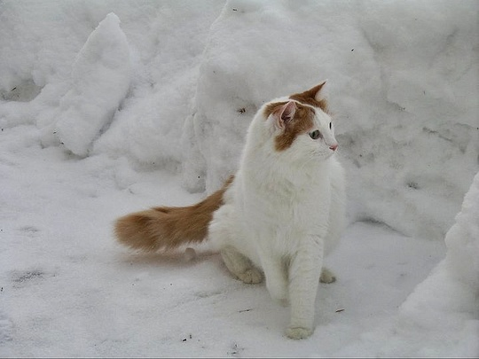 Turkish Van cat in snow