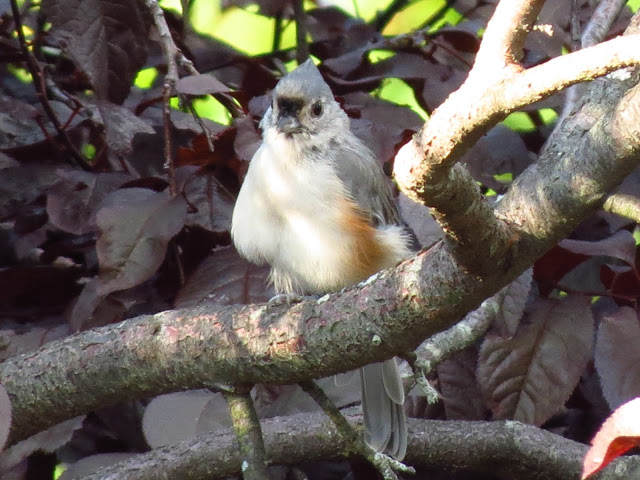 tufted titmouse straight on view
