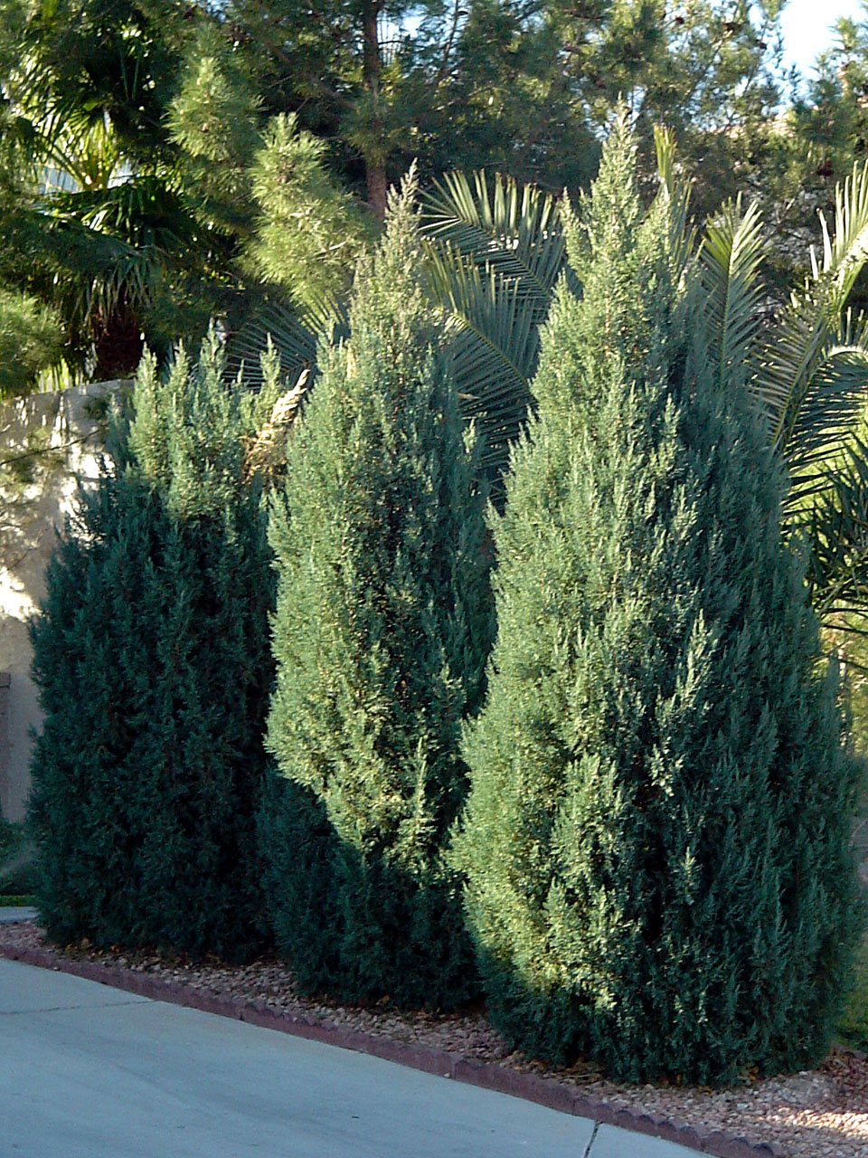 Landscaping Around A Group Of Trees : Junipers are such common landscape plants we can easily forget they