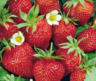 cara meningkatkan hasil panen budidaya strowberry dengan pupuk organik nasa
