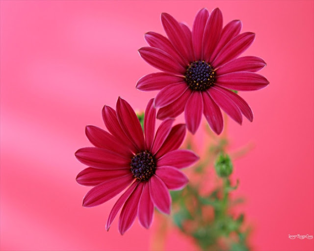 Flowers Wallpapers3