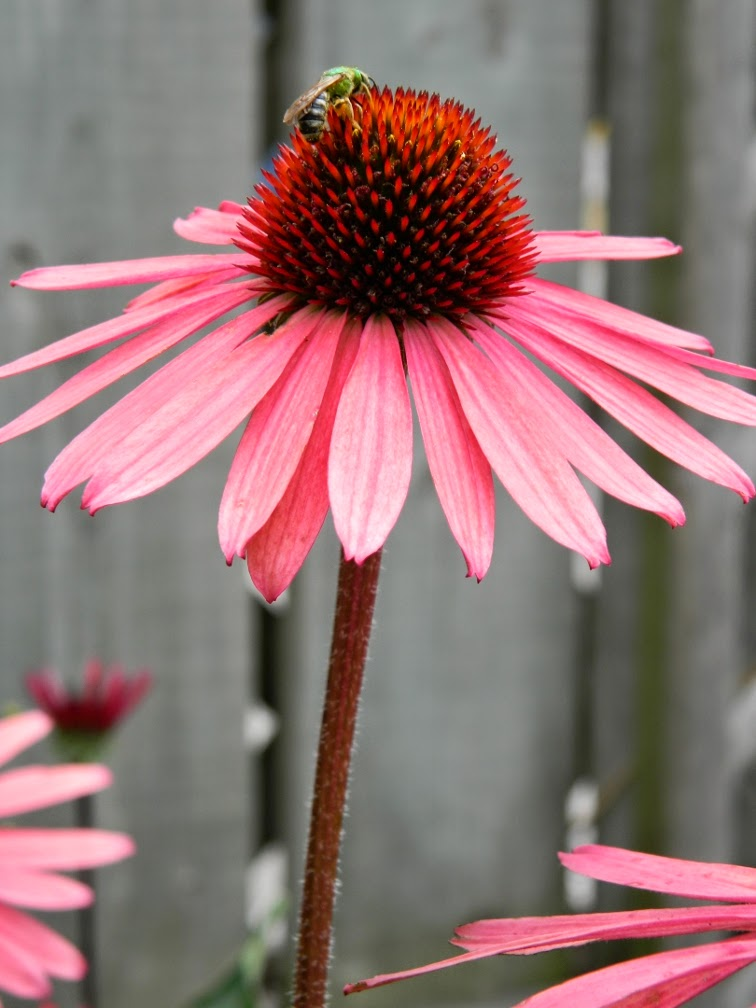 Echinacea Solar Flare Big Sky coneflower hybrid by garden muses-not another Toronto gardening blog