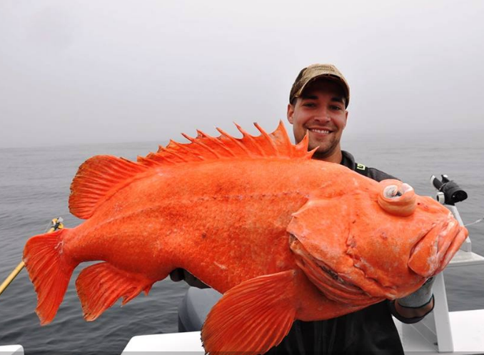 Big fishes of the world shortraker rockfish sebastes for Large ocean fish