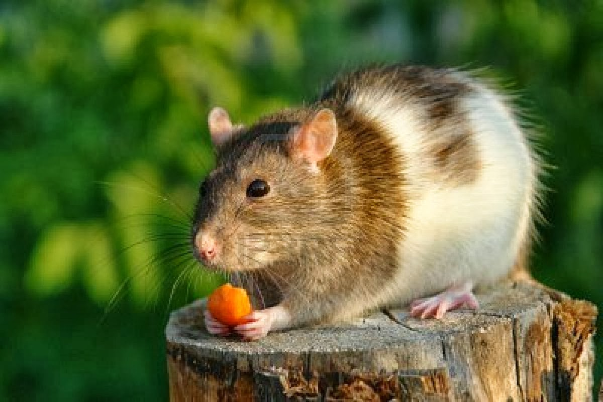 To a Mouse - A Poem by Robert Burns